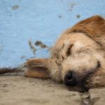Arthur, el perro callejero que se ganó un hogar en Suecia