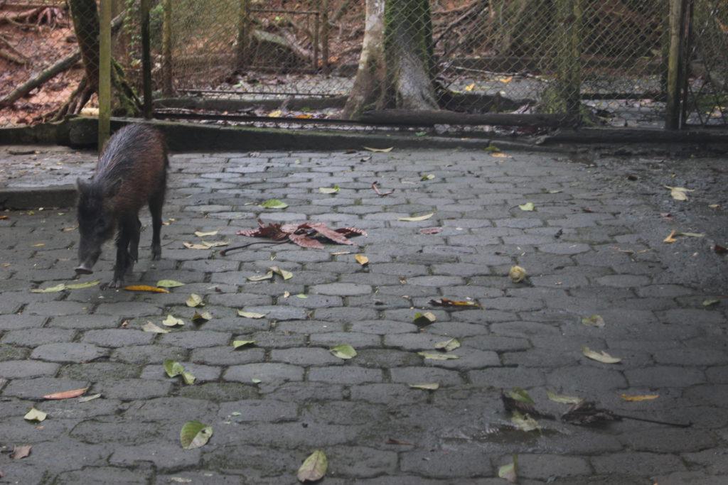 Animales silvestres que viven en el Zoológico de Orellana. Sus especies son de las más apetecidas por cazadores para comercializar su carne. En la imagen, un sajino. Foto: Daniela Aguilar