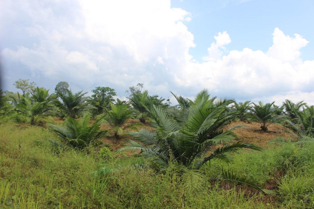 Otra plantación reciente de Palma en la comunidad 15 de Abril de la parroquia Nuevo Paraíso. Foto: Daniela Aguilar.