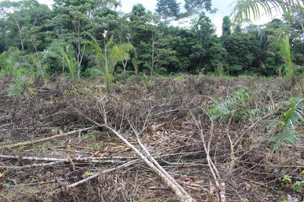 Plantaciones nuevas de palma africana en la parroquia San Roque del cantón Shushufindi. En distintos puntos de la zona rural se pueden observar bosque talado. Foto: Daniela Aguilar.